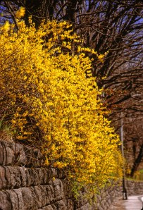 2586 02 Forsythia wall