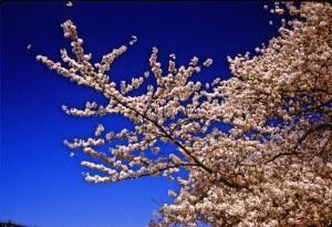 2586 10 Cherry blossom