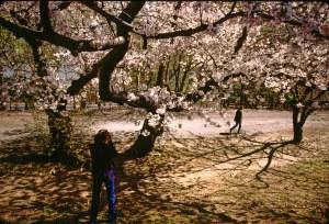 2586 13 Julia cherry blossom