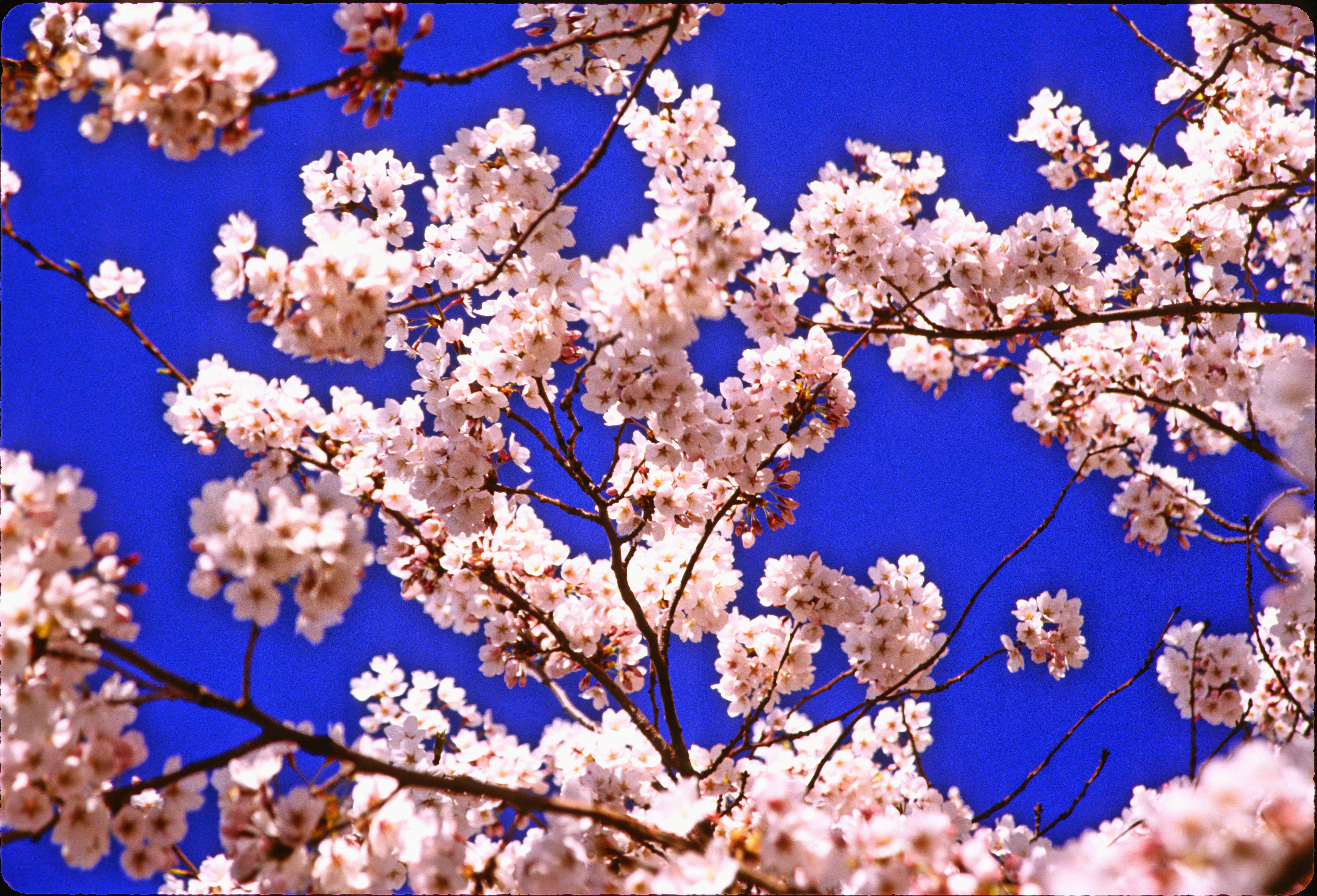 park spring blossom - photo #32