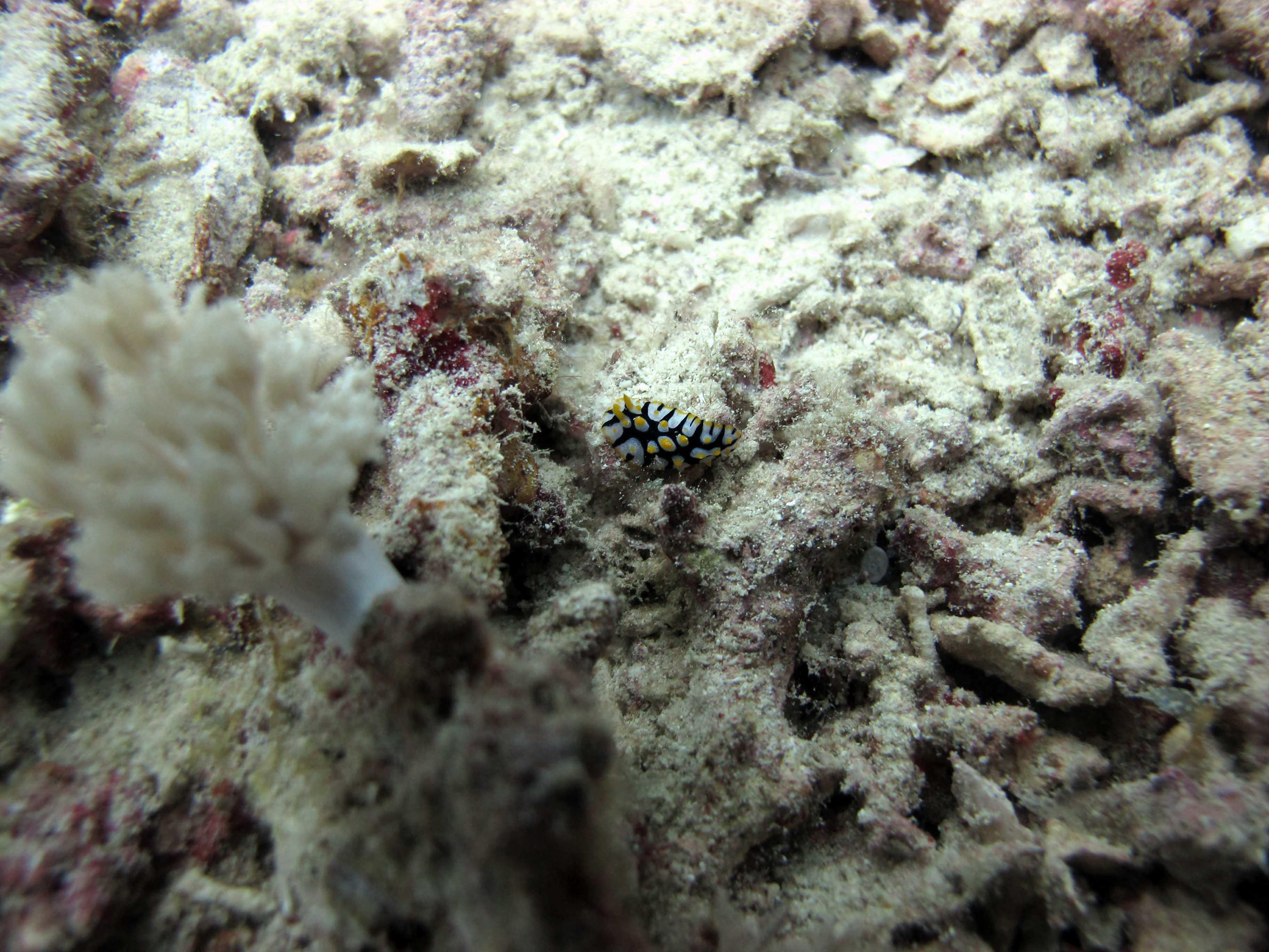 Img Yellow Spot Goatfish