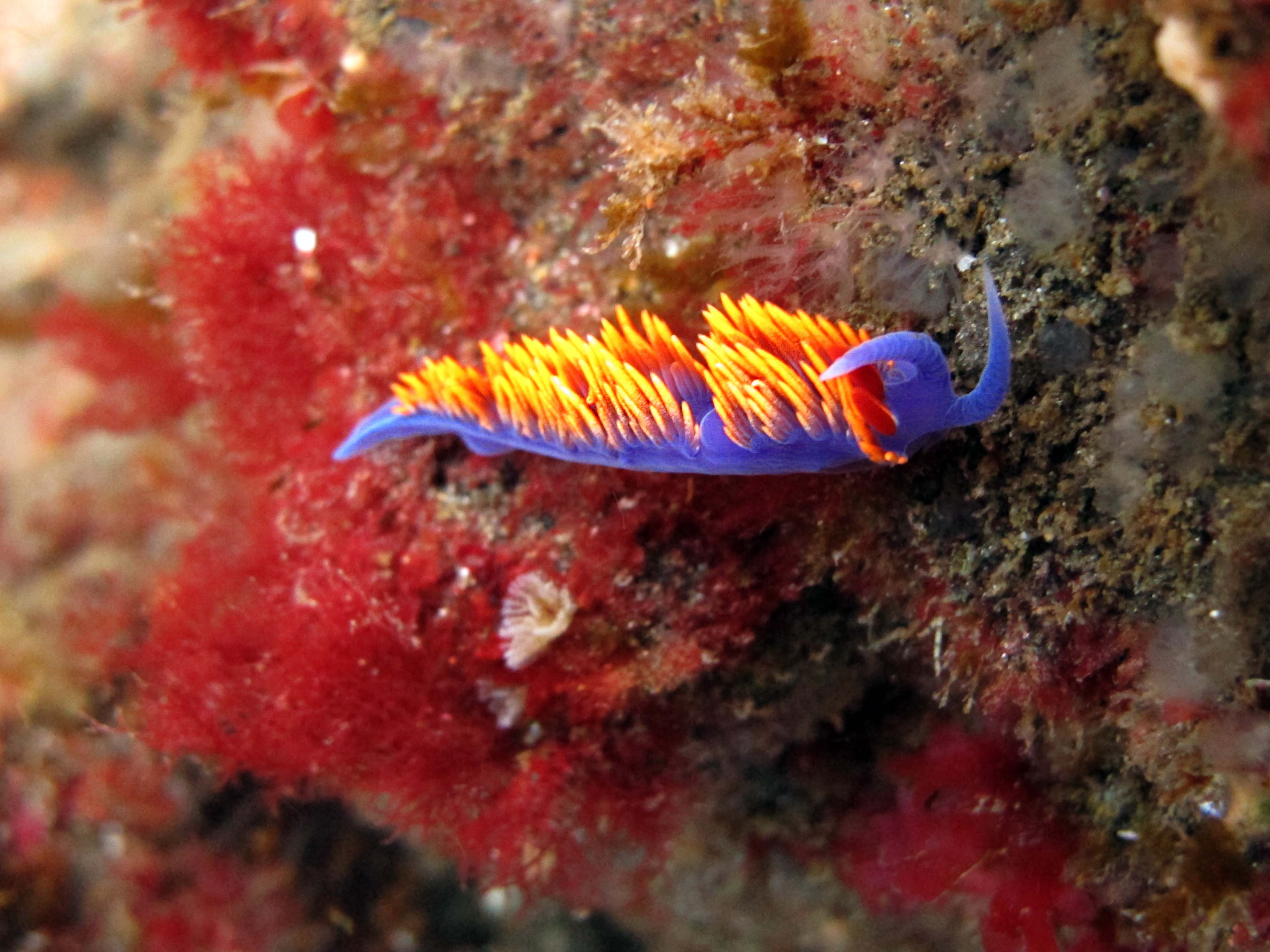 Channel Island Nudibranch | photobackstory