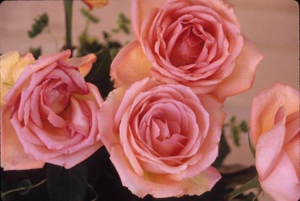 2993 30 Rose