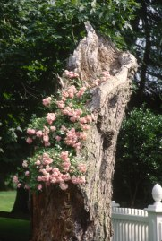 2492 05 Oak roses