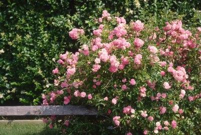 2492 36 Roses